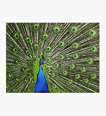 Peacock wide Photographic Print