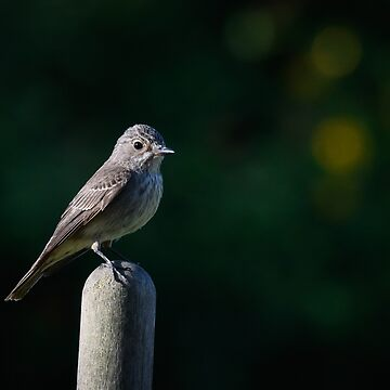spotted flycatcher by AndyJones