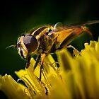 Sunfly on Dandelion by M G  Pettett
