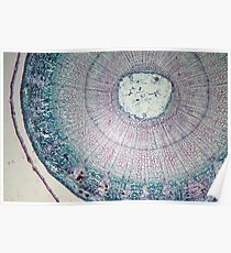 Microscope Slide - Dyed Stem Cross Section Poster