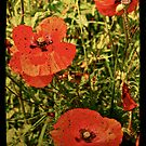 Poppies!! by Catherine Hadler