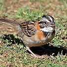 Rufous-collared Sparrow by Carole-Anne