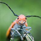 happy beetle - Red Milkweed Beetle (Tetraopes tetrophthalmus) by jude walton