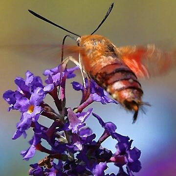 Hummingbird Moth by rural-guy