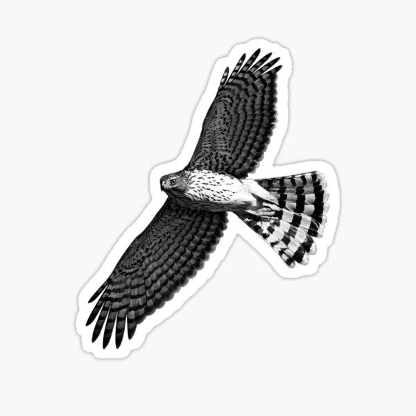 Cooper's Hawk in Flight Sticker