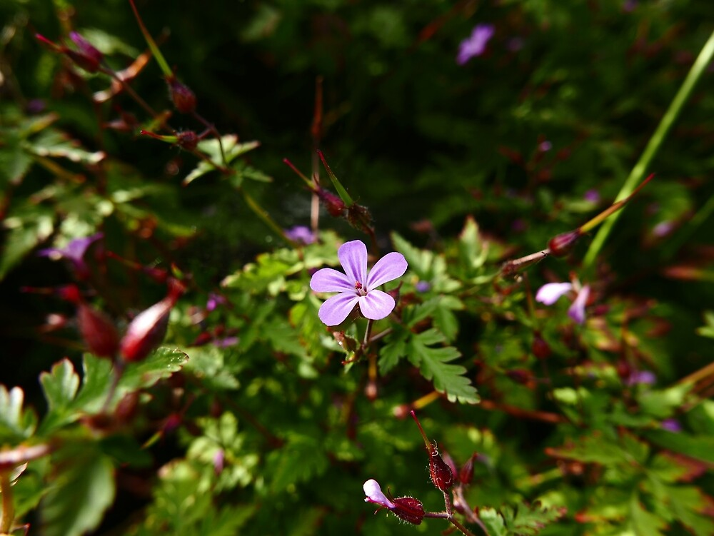 Herb Robert (Geranium robertianum) by IOMWildFlowers