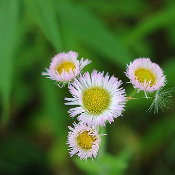 Make A Wish, Little Daisy by JuliaAjandi