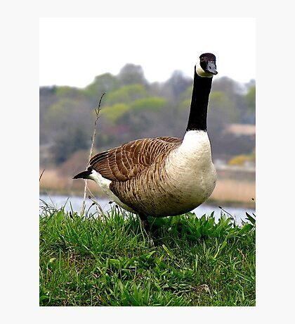 """""""One step closer and I'll """"goose"""" you---I'm NOT Mother Goose!"""" Photographic Print"""