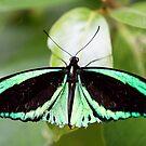 Cairns Birdwing Butterfly by Bevlea Ross