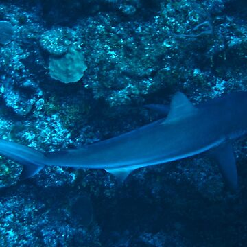 Reef Shark by Scubagirlamy