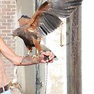 Harris Hawk 2 by dougie1