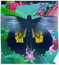 """""""Fluttering Beauty"""", Photo / Digital Painting Poster"""