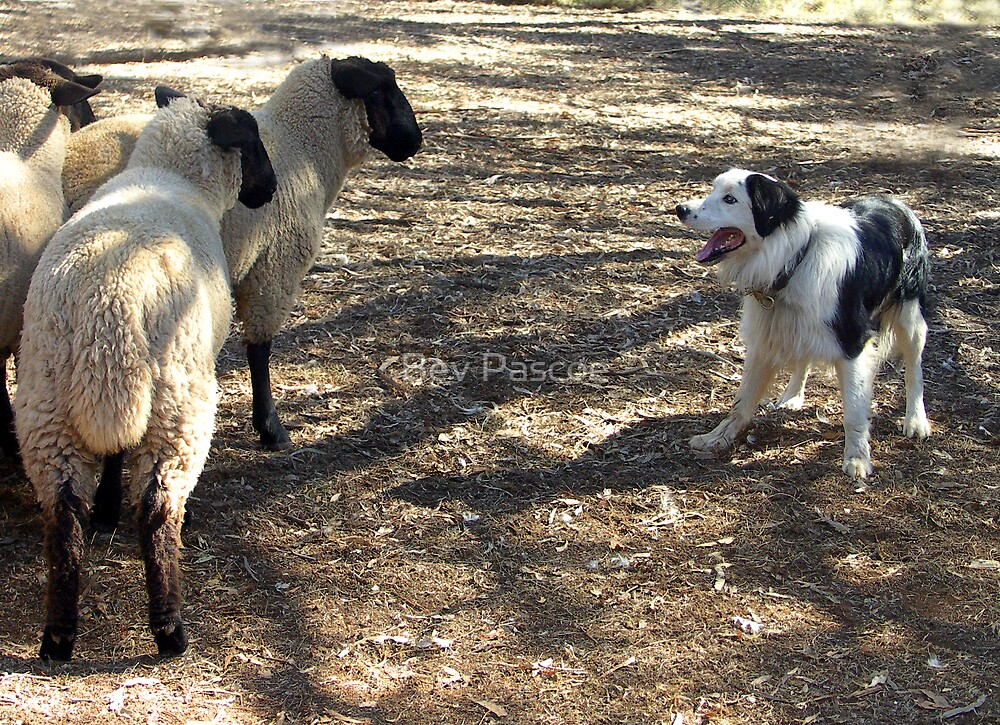 Your border collies mature victoria australia consider, that