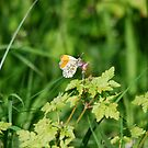 Another Orange Tip by dougie1