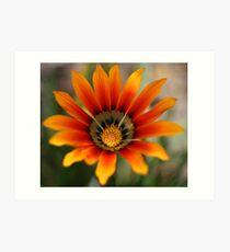 Orange gazania flower Art Print