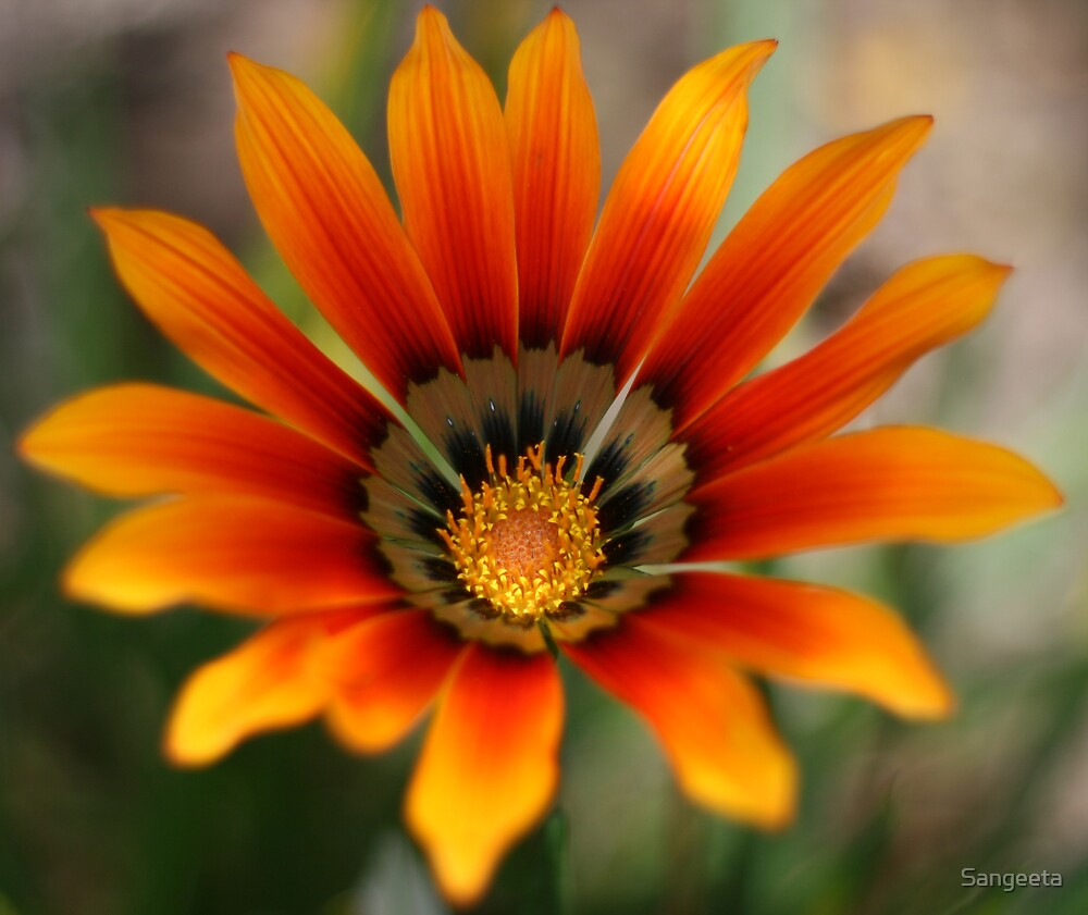 Orange gazania flower by Sangeeta