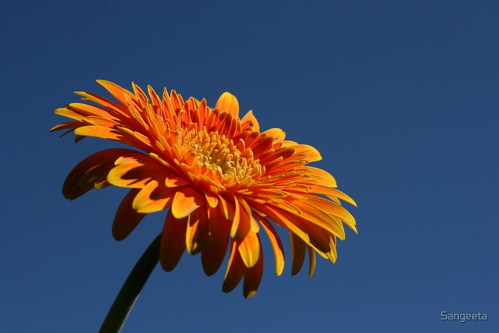 Orange gerbera by Sangeeta
