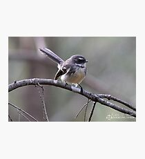 Fantail Photographic Print