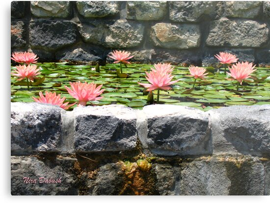 Waterlilies between the Stones by Nira Dabush