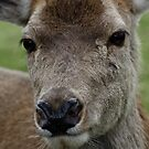 Jess the Red Deer by AnnDixon