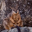Rock Wallaby... by Janine  Hewlett