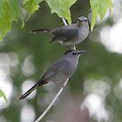 A Pair Of Gray Catbirds. by DigitallyStill