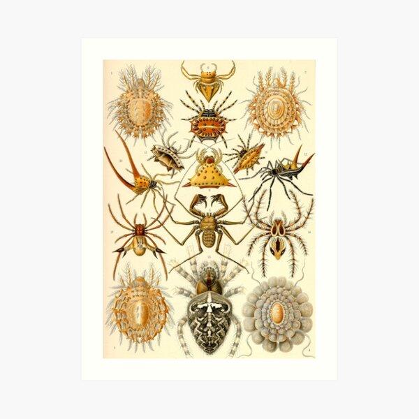 Arachnida (Arachnid - Spiders) - Ernst Haeckel Art Print