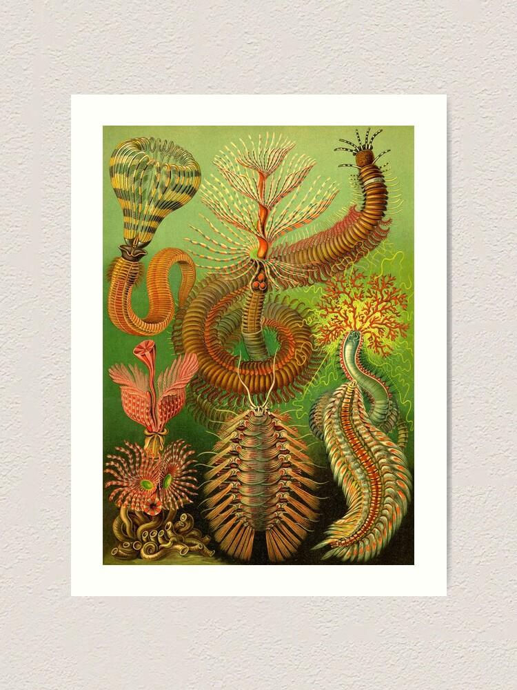 Art Forms in Nature Fine Art Print Chaetopoda Ernst Haeckel