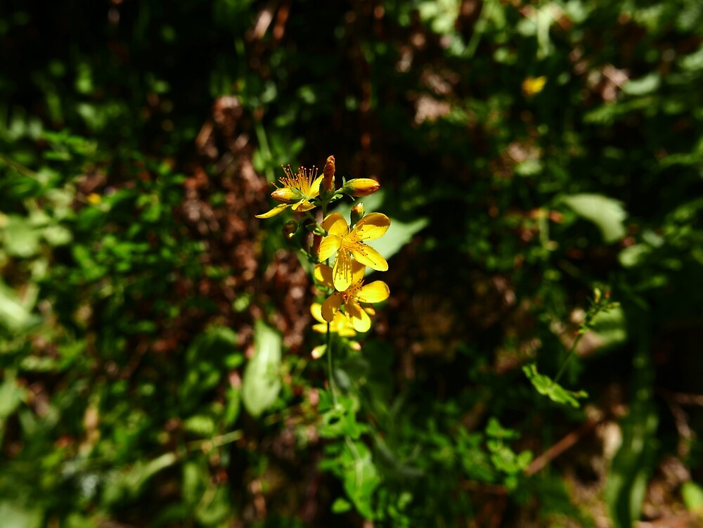 Slender St John's Wort (Hypericum pulchrum) by IOMWildFlowers