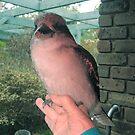 My Kookaburra friend sitting on my hand. by Bev Pascoe