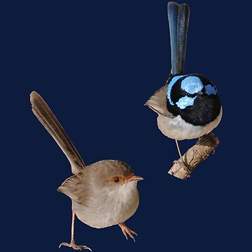 Superb Fairy-wrens male and female 3 by quentinjlang