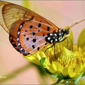 BUTTERFLIES SERIES - NATAL ACRAEA - Acraea natalica by mags
