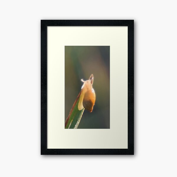 Brilliant little snail Framed Art Print