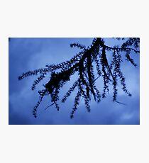 Larch Photographic Print