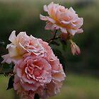 Pink Roses  by Lynn Ede