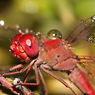 Happy little dragonfly covered in water droplets no.4 by Rick Fin