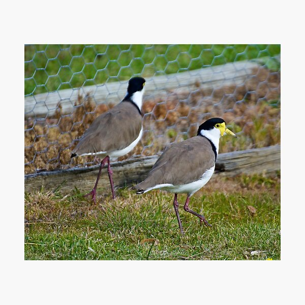 LAPWING ~ Masked Lapwing LYD6UDB7 by David Irwin Photographic Print