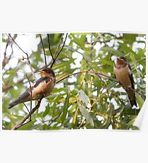 An Evening Glow On A Pair Of Baby Barn Swallows. Poster