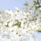 White Cherry Blossom by BlinkImages