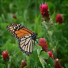 Monarch on Clover by Colleen Drew