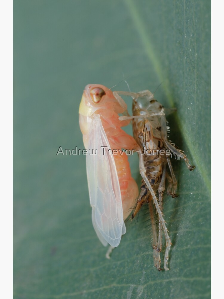 Yellow-headed Leafhopper by andrewtj