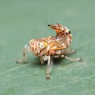 Yellow-headed Leafhopper Nymph by Andrew Trevor-Jones