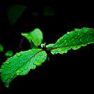 Rain Drops by Phillip M. Burrow