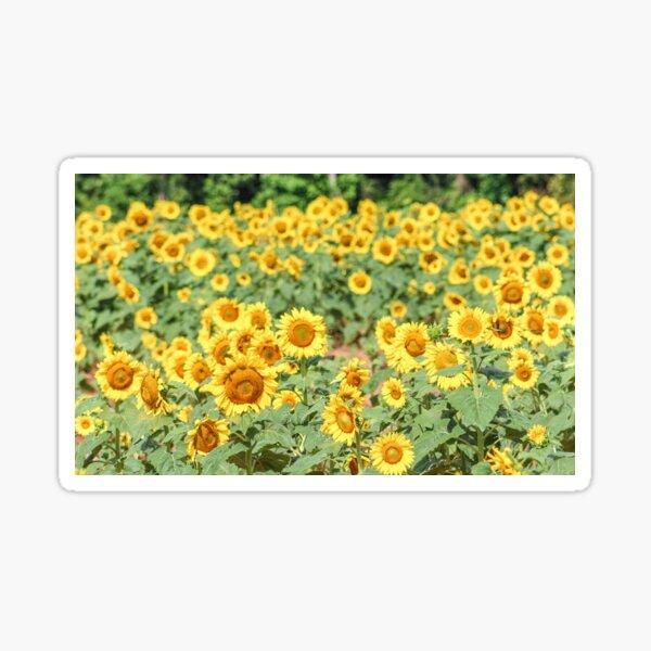 Bright Yellow Sunflower Fields Sticker