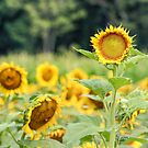 Lone Sunflower by Southern  Departure