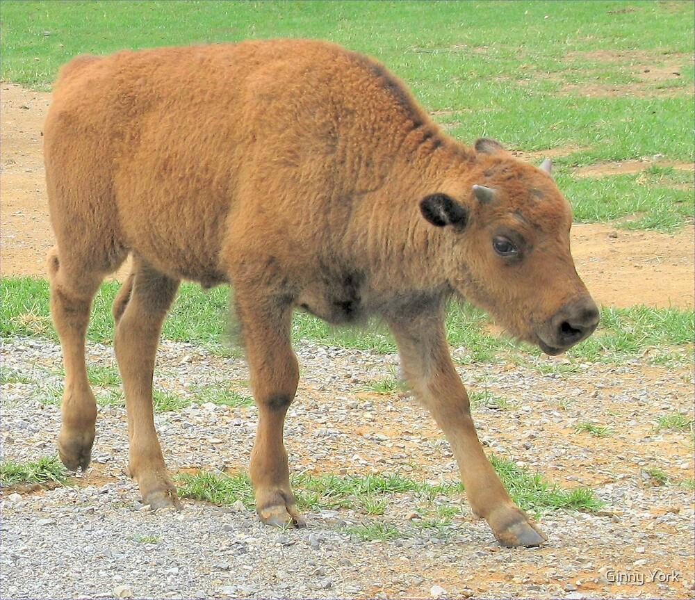 Baby Bison by Ginny York