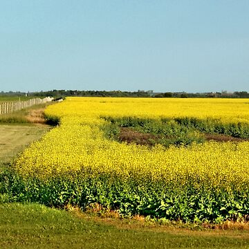 Canola Gold by umpa1