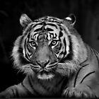 Tiger stare by Manfred Belau