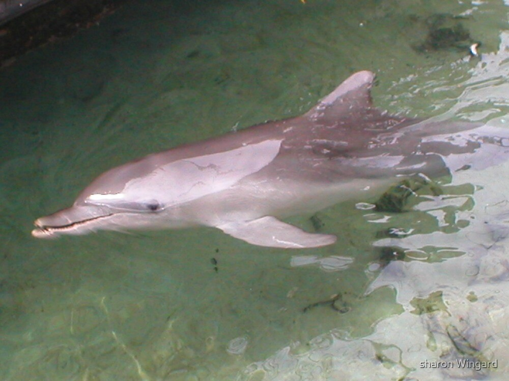 dolphin by sharon wingard
