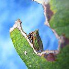 Green Horned Treehopper by Vanessa Barklay